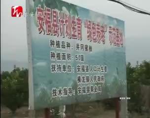 安福县筹资520万扶持井冈蜜柚产业