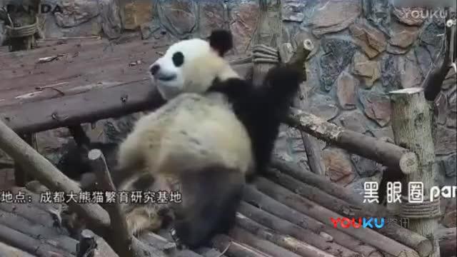 这是我见过最嘚瑟的大熊猫!
