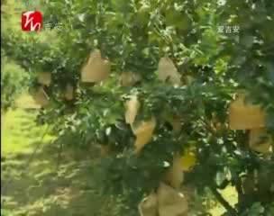 蜜柚套袋技术 助果农增收致富