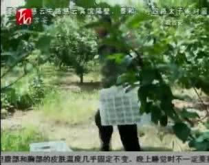 """峡江:翠冠梨""""触网"""" 摆脱滞销困局"""