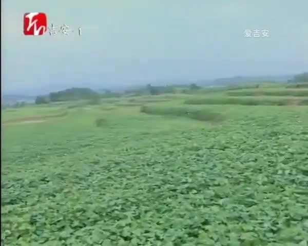 泰和縣冠朝鎮:2000畝土地流轉 致富新希望