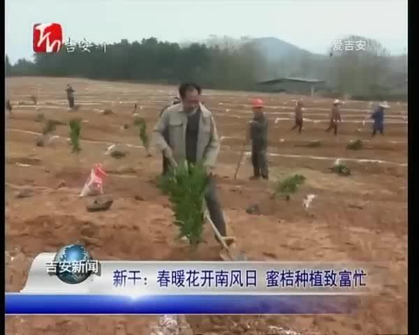 新干:春暖花开南风日 蜜桔种植致富忙