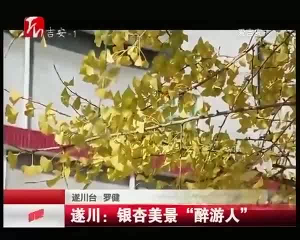 """遂川:銀杏美景""""醉游人"""""""