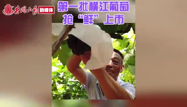 今年第一批横江葡萄抢先上市