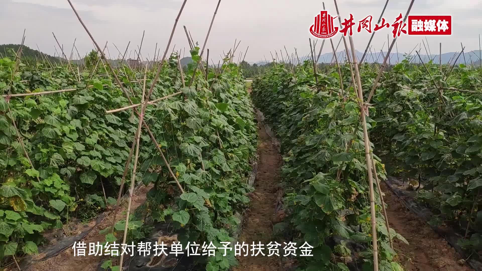 富滩镇龙塘黄瓜基地年产黄瓜15万斤